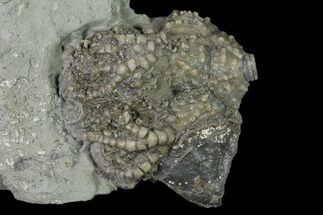 Fossil Crinoid (Platycrinites) and Gastropod (Platyceras) - Indiana For Sale, #136523