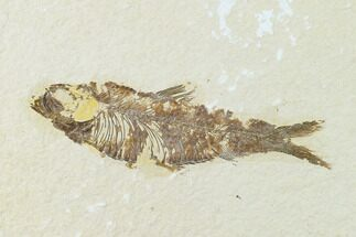 "3.7"" Fossil Fish (Knightia) - Green River Formation - Wyoming For Sale, #136541"