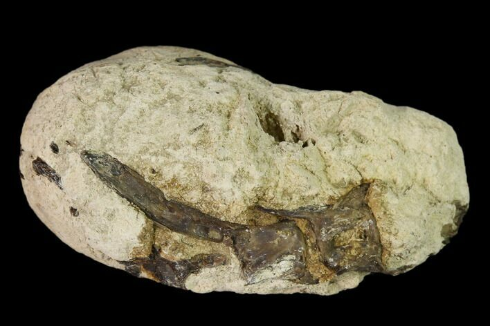 "1.6"" Cretaceous Fish Coprolite (Fossil Poop) with Bones - Kansas"
