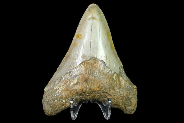 "3.35"" Fossil Megalodon Tooth - North Carolina"