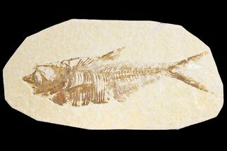 "4.6"" Fossil Fish (Diplomystus) - Green River Formation For Sale, #136757"
