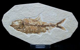 4.3 Inch Long Knightia Fossil Fish For Sale, #1556