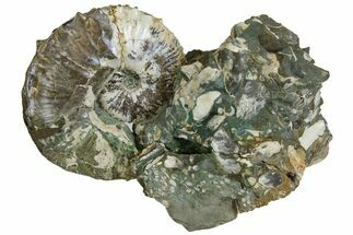 Fossil Ammonites (Jeletzkytes & Sphenodiscus) - South Dakota For Sale, #137273