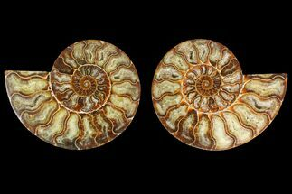 Cleoniceras - Fossils For Sale - #135261