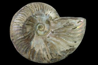 "Buy 5.2"" Silver Iridescent Ammonite (Cleoniceras) Fossil - Madagascar - #137395"