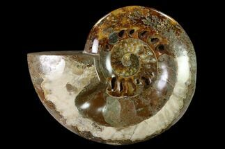 "5.8"" Wide Polished Fossil Ammonite ""Dish"" - Inlaid Ammonite For Sale, #137408"