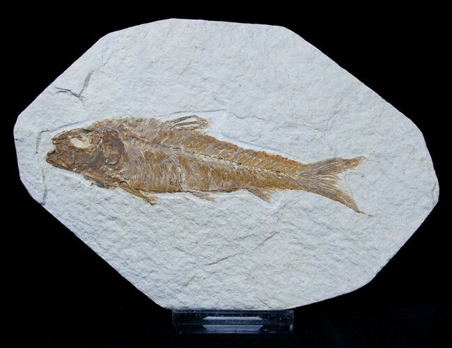 4 Inch Knightia Fossil Fish - Green River Formation