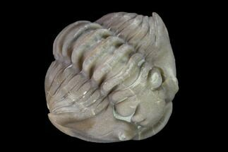"Buy .72"" Wide Enrolled Flexicalymene Trilobite - Mt. Orab, Ohio - #137500"