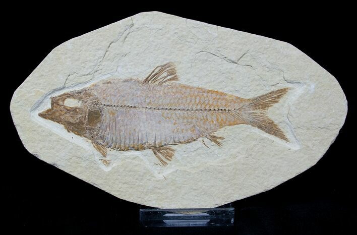 4.2 Inch Knightia Fossil Fish - Wyoming