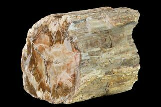 "Buy 5"" Colorful Petrified Wood (Araucaria) Limb - Madagascar  - #137863"