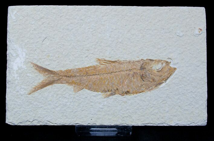 4.1 Inch Knightia Fossil Fish