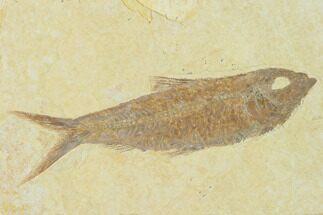 "4.1"" Detailed Fossil Fish (Knightia) - Wyoming For Sale, #137966"