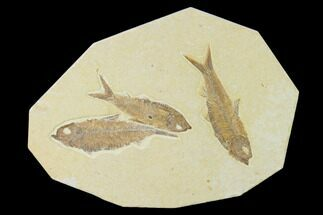 "Buy 7.2"" Plate With Three Knightia Fossil Fish - Wyoming - #137980"