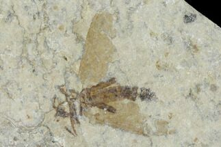 ".5"" Fossil March Fly (Plecia) - Green River Formation For Sale, #138470"