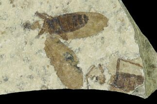".5"" Fossil March Fly (Plecia) - Green River Formation For Sale, #138485"