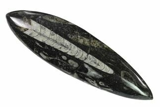 "6.2"" Polished Fossil Orthoceras (Cephalopod) - Morocco For Sale, #138419"