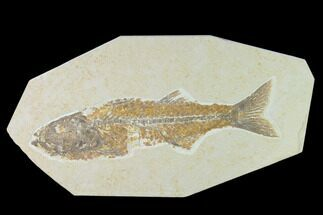 "10.8"" Fossil Fish (Mioplosus) - Uncommon Species - Green River For Sale, #138590"