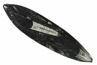 "Buy 7.5"" Bargain Polished Fossil Orthoceras (Cephalopod) - Morocco - #138268"