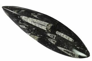 "7.2"" Polished Fossil Orthoceras (Cephalopod) - Morocco For Sale, #138275"