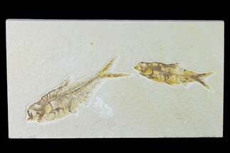 "4.7"" Diplomystus With Knightia Fossil Fish - Green River Formation For Sale, #138611"