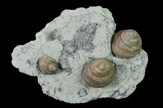 "4.2"" Plate of Gastropod (Cyclonema) Fossils - Ohio For Sale, #138845"