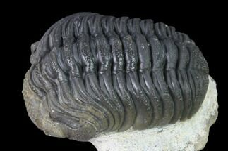 "2.3"" Detailed Morocops Trilobite - Ofaten, Morocco For Sale, #138959"