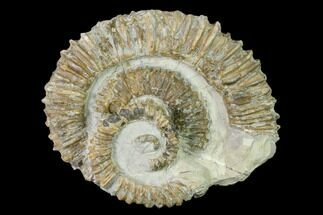 "4.2"" Double Aegocrioceras Ammonite - Germany For Sale, #139142"