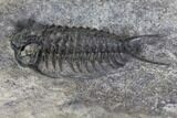 "7.6"" Plate of Four Ceraurus Trilobites - Walcott-Rust Quarry, NY - #138810-8"