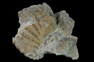 "2"" Jurassic Bivalve (Scaphotrigonia) - Bouxwiller, France For Sale, #139406"