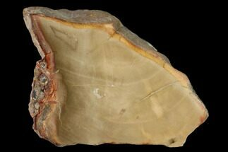 "Buy 4.1"" Petrified Wood (Araucaria) Slab - Madagascar  - #139573"