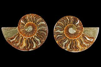 Cleoniceras - Fossils For Sale - #139725