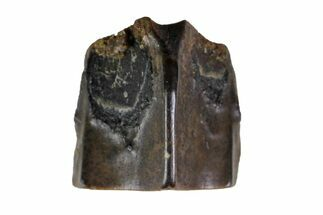 Edmontosaurus annectens - Fossils For Sale - #135408
