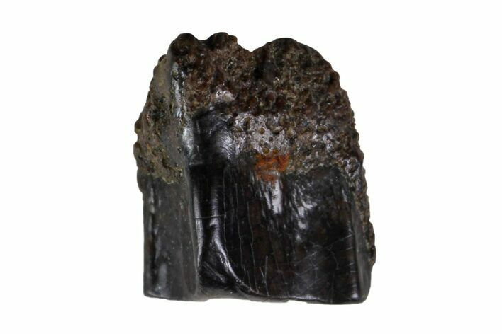 ".25"" Fossil Hadrosaur (Edmontosaurus) Shed Tooth- Montana"