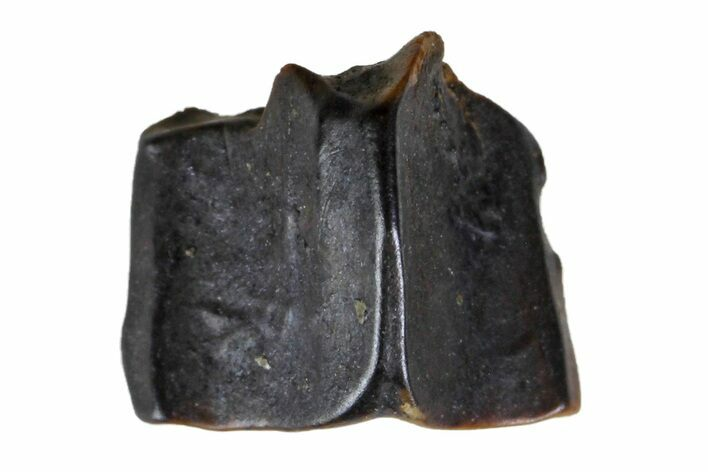 ".29"" Fossil Hadrosaur (Edmontosaurus) Shed Tooth- Montana"