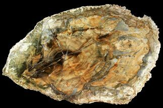 "Buy 14.8"" Colorful Petrified Wood (Araucaria) Round - Madagascar  - #140041"
