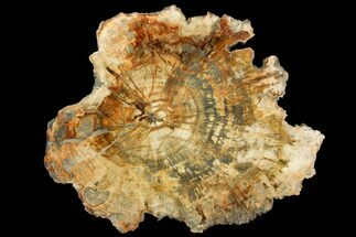"14.4"" Colorful Petrified Wood (Araucaria) Round - Madagascar  For Sale, #140042"