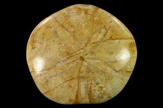 "Buy 3.9"" Polished Fossil Sand Dollar (Mepygurus) - Jurassic - #139861"