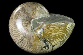 "8.5"" Polished Fossil Nautilus (Cymatoceras) - Madagascar For Sale, #127145"
