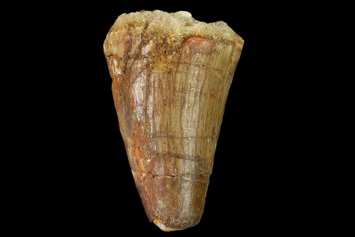 "1.42"" Cretaceous Fossil Crocodile Tooth - Morocco"