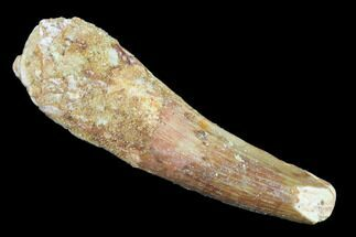 "Bargain, 2.49"" Spinosaurus Tooth - Real Dinosaur Tooth For Sale, #140777"