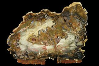 "9.6"" Colorful, Hubbard Basin Petrified Wood Slab For Sale, #141077"