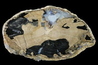 "6.4"" Petrified Wood (Schinoxylon) Slab - Blue Forest, Wyoming For Sale, #141284"
