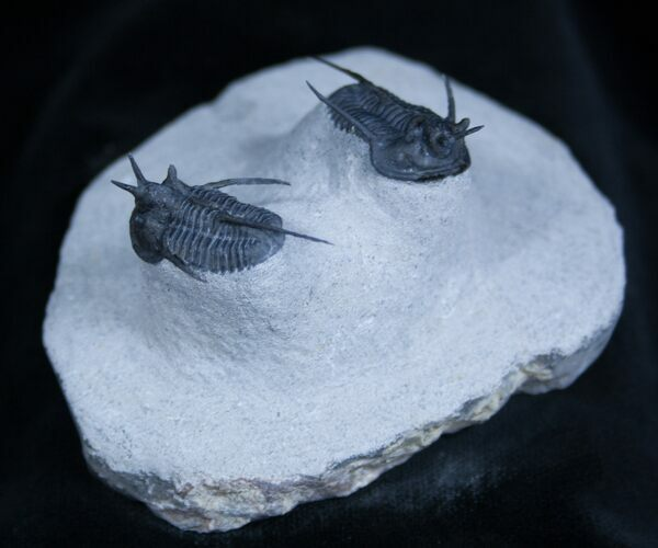 "Double Cyphaspis ""Horned"" Trilobite"