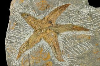 "3.3"" Fossil Starfish (Petraster) & Edrioasteroids - Morocco For Sale, #141884"