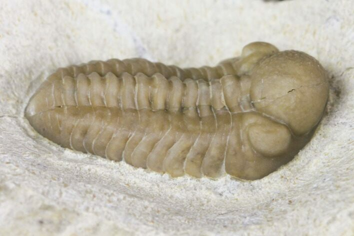 Cute Baby Kainops Trilobite - Black Cat Mountain