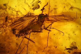 Three Large Fossil Flies (Diptera) In Baltic Amber For Sale, #142199