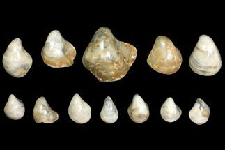 Wholesale Lot: Polished Fossil Oyster Shells - Around 150 Pieces For Sale, #141092
