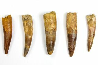 "Wholesale Lot: 3.3 to 3.7"" Bargain Spinosaurus Teeth - 5 Pieces For Sale, #141497"