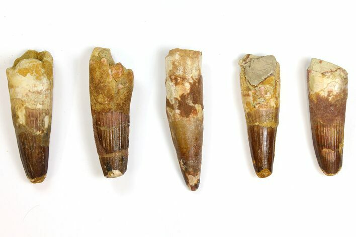 "Wholesale Lot: 3 to 3.6"" Bargain Spinosaurus Teeth - 5 Pieces"
