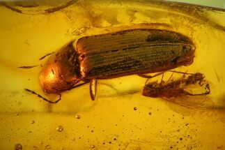 Buy Fossil Fly (Diptera) & Large Beetle (Coleoptera) In Baltic Amber - #142252